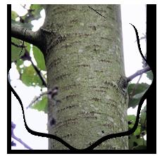 Осиновые дрова